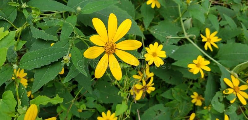 Gele madeliefjebloemen royalty-vrije stock foto's
