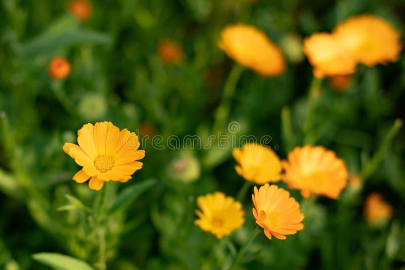 GELE MADELIEFJES Close-up van gele bloemen op een natuurlijke groene onscherpe achtergrond Mooie gouden bloem op groen gras royalty-vrije stock afbeeldingen