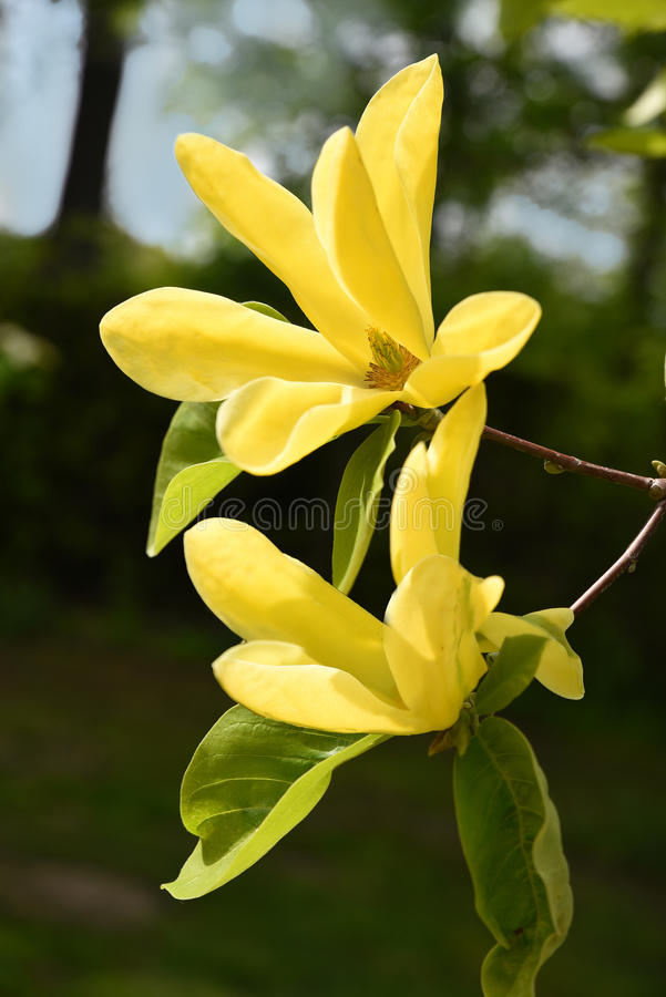 Gele magnoliabloesems op een takje stock fotografie