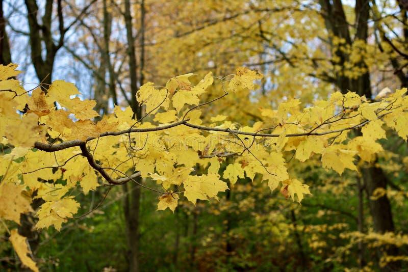 Gele mapelbladeren in de herfst royalty-vrije stock foto