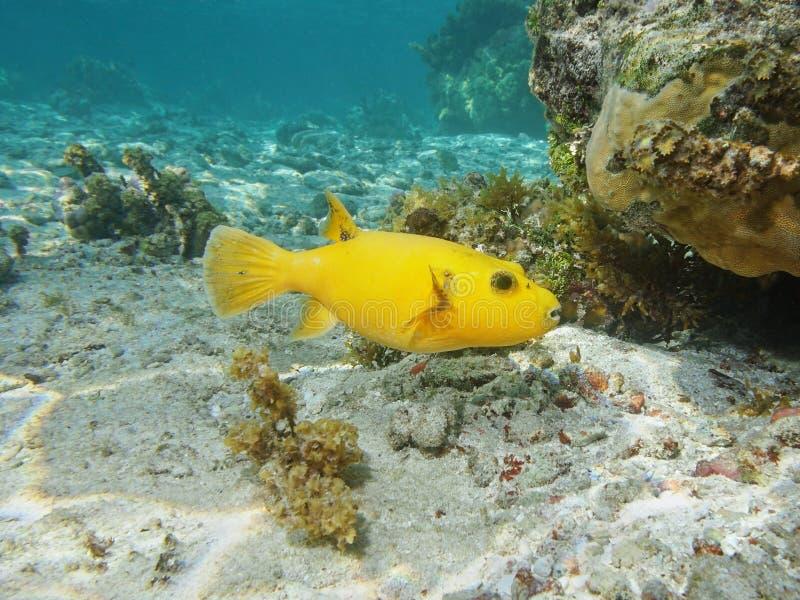 Gele meleagris van de kogelvisarothron van het vissenparelhoen royalty-vrije stock foto's