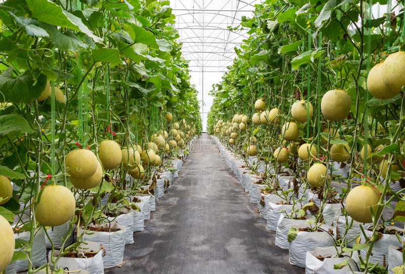 Gele meloen op gebied royalty-vrije stock afbeeldingen