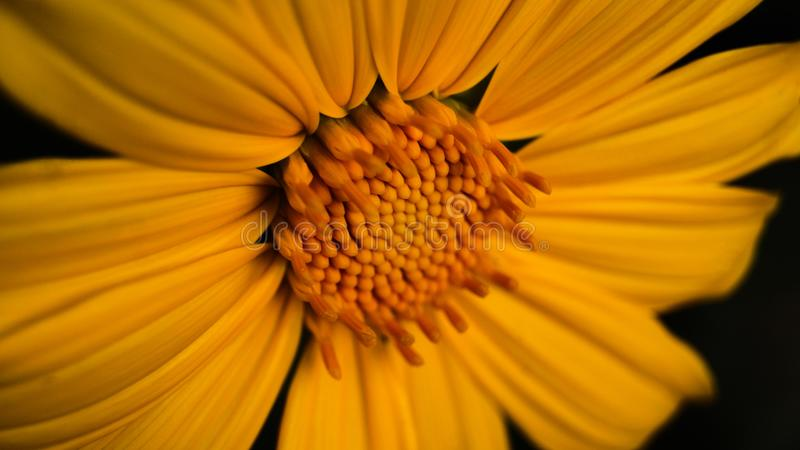 Gele Mexicaanse Zonnebloemonkruid of Tithonia Diversifolia stock fotografie