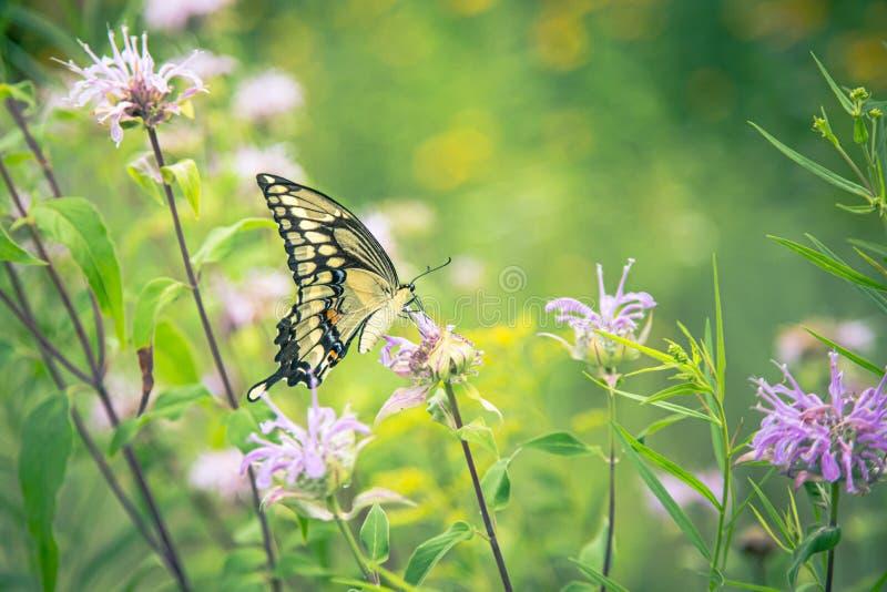Gele monarchvlinder op roze klaverbloem stock foto