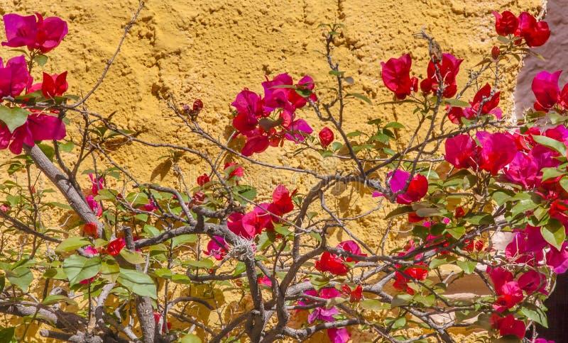 Gele Muur Roze Bougainvillea San Miguel de Allende Mexico stock foto's