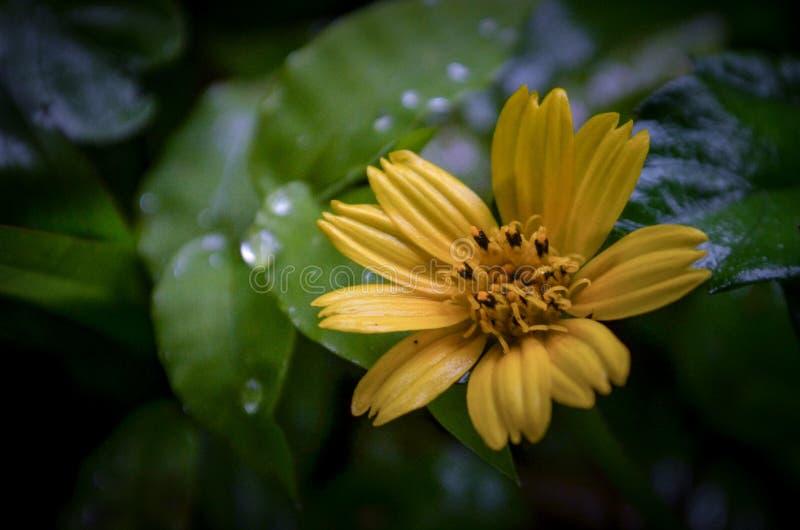 Gele narcis royalty-vrije stock fotografie