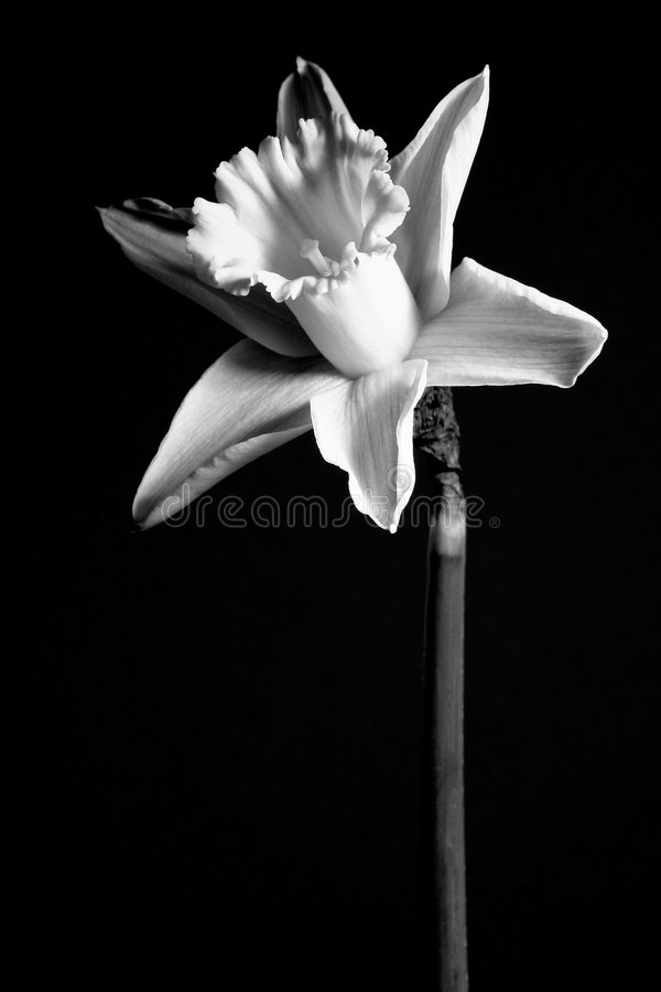 Gele Narcis 2 Stock Foto