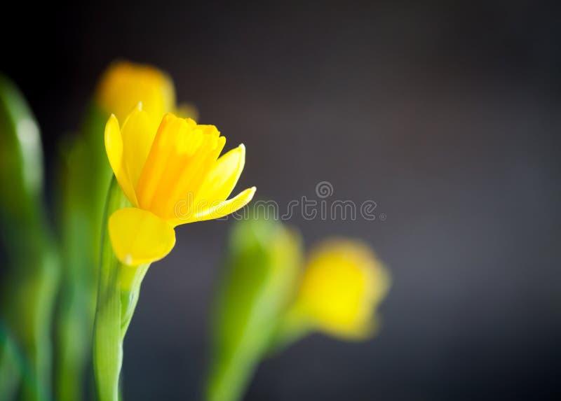 Gele narcis stock foto