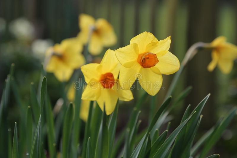 Gele narcis - Ander Dafodills vaag int. hij Achtergrond royalty-vrije stock foto's
