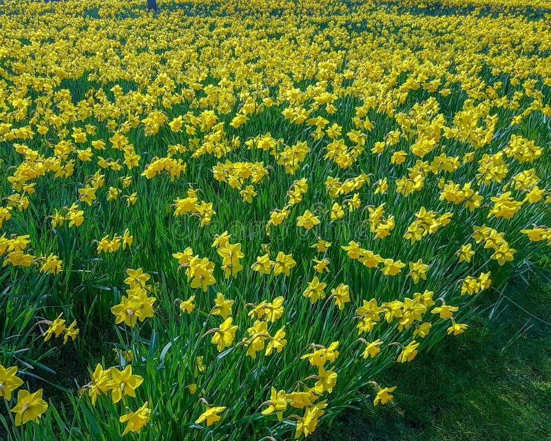 Gele Gele narcis in een tuin in lentetijd stock foto's