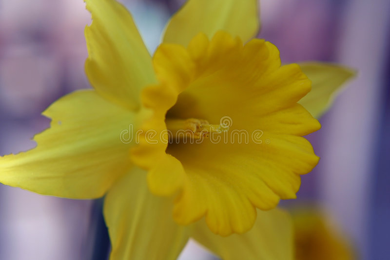 Gele narcis en Meeldraad royalty-vrije stock fotografie