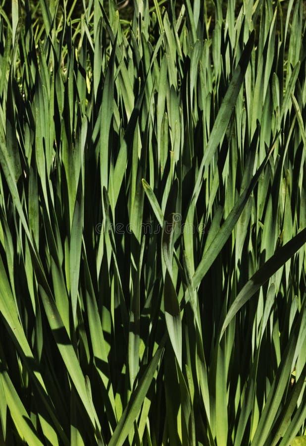 Gele narcis groene bladeren stock afbeelding