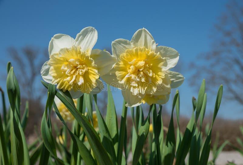 Gele narcis met gevulde gele kroon royalty-vrije stock fotografie