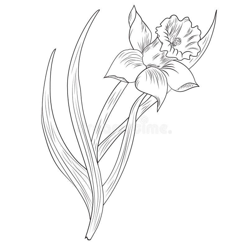 Gele narcisbloem of narcissen op wit wordt geïsoleerd dat vector illustratie