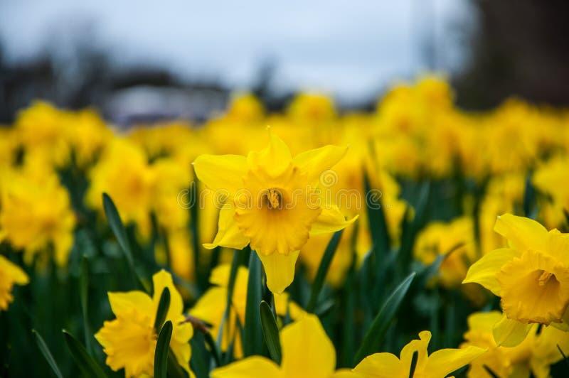 Gele narcisbloemen royalty-vrije stock afbeeldingen