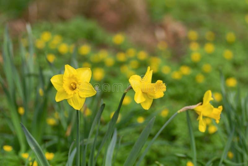 Gele narcisbloemen op een gebied royalty-vrije stock foto