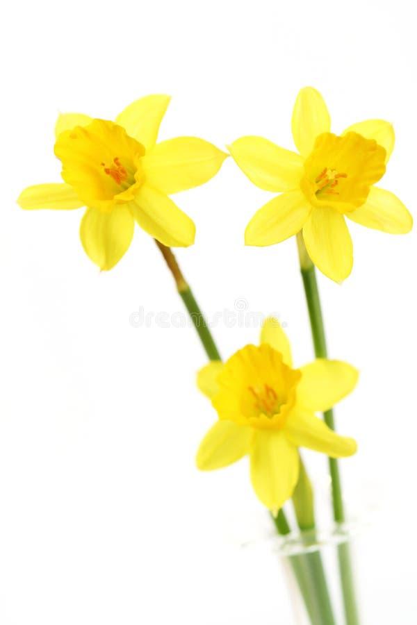 Gele narcissen stock foto