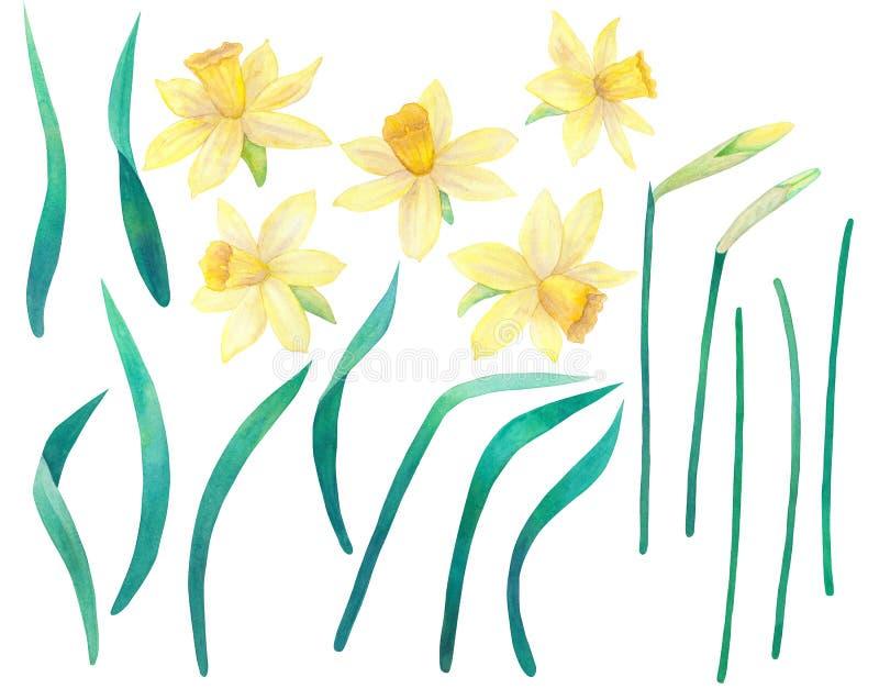 Gele narcissen of narcissen Gele bloemen en bladeren Grote inzameling Waterverfhand getrokken illustratie Geïsoleerd op wit royalty-vrije illustratie