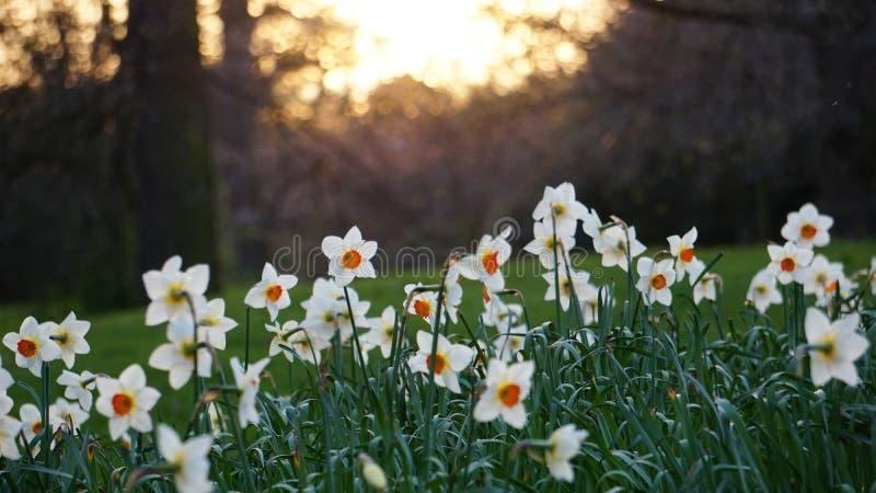 Gele narcissen in de lente royalty-vrije stock foto's