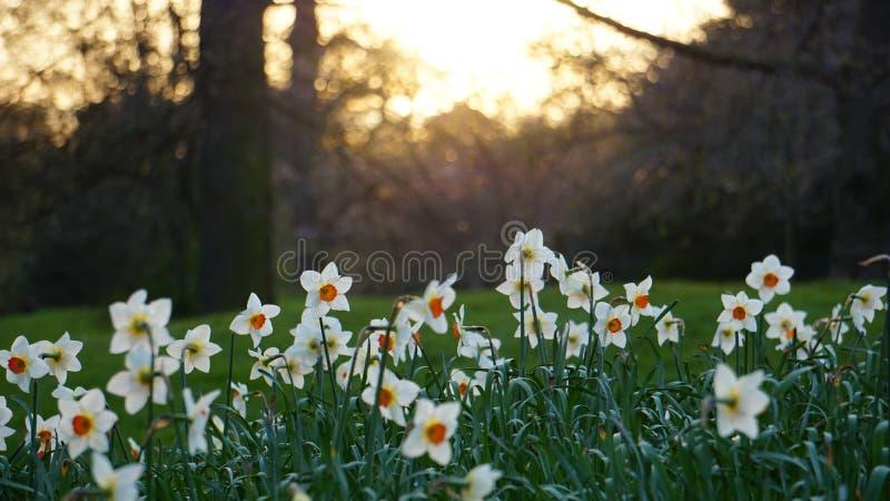 Gele narcissen in de lente royalty-vrije stock afbeeldingen