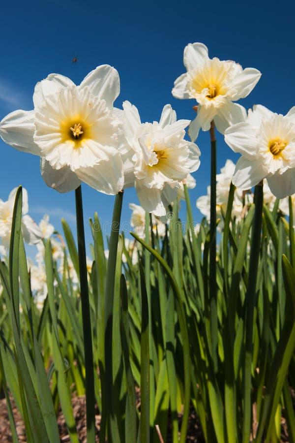 Gele narcissen in de lente royalty-vrije stock afbeelding