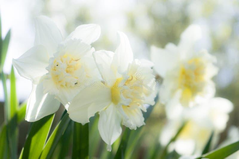 Gele narcissen in de tuin stock afbeelding