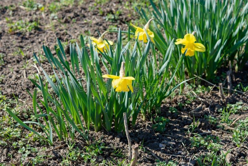 Gele narcissen in de tuin op de zonnige dag royalty-vrije stock afbeelding
