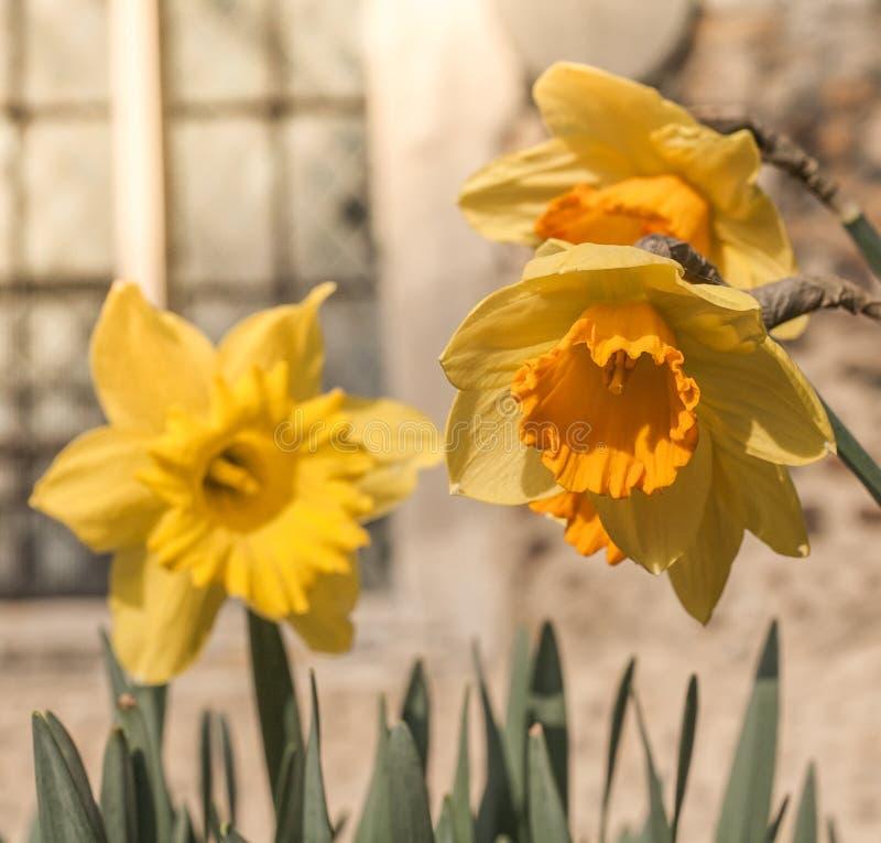 Gele narcissen die in volledig zonlicht in dorpskerkhof groeien stock afbeeldingen
