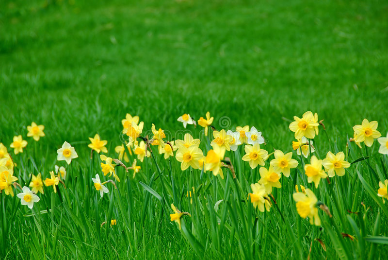 Gele narcissen en gras stock foto's