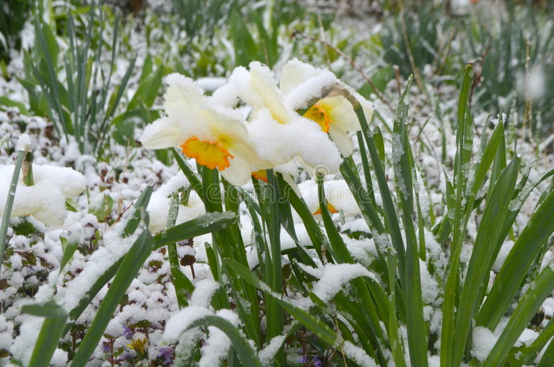 Gele narcissen onder sneeuw - anomalie stock afbeeldingen