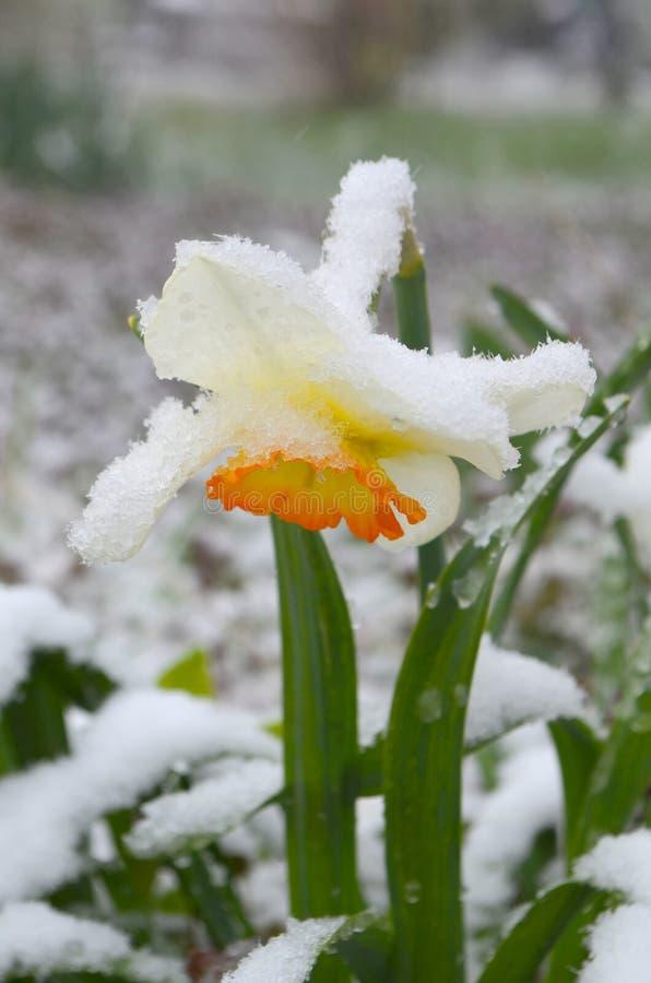 Gele narcissen onder sneeuw - anomalie royalty-vrije stock afbeeldingen