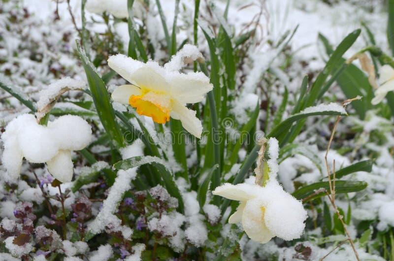 Gele narcissen onder sneeuw - anomalie royalty-vrije stock foto