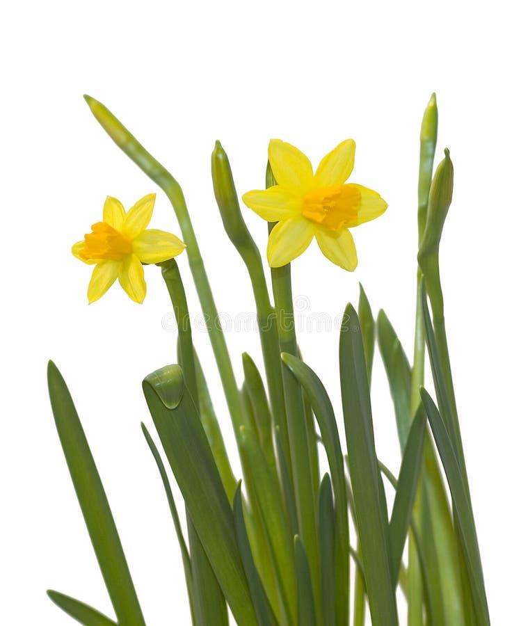 Gele narcissen op wit royalty-vrije stock afbeelding
