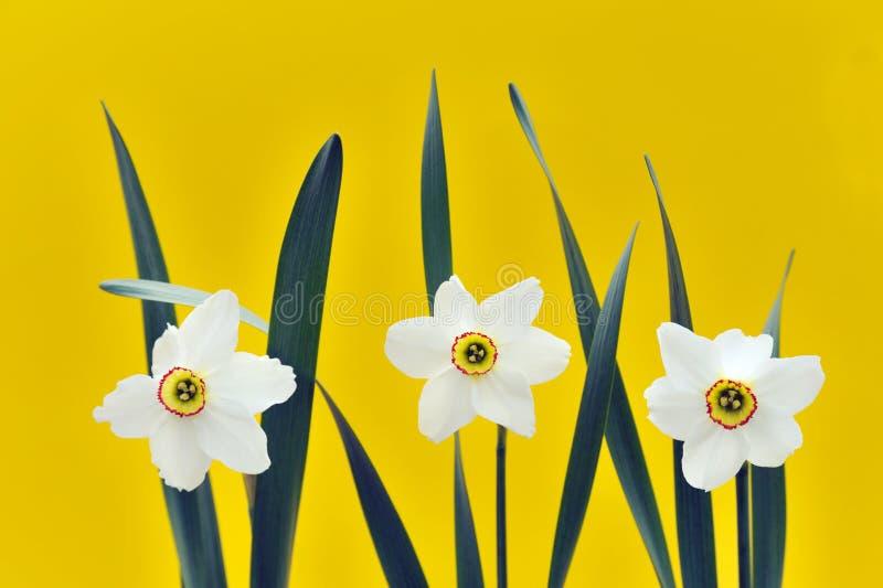 Gele narcissen over gele achtergrond royalty-vrije stock afbeelding