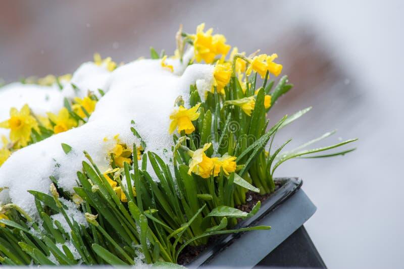 Gele narcissen in sneeuw stock foto's