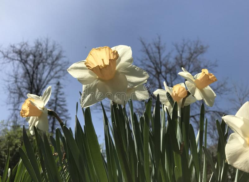 Gele narcissen tegen de blauwe hemel stock afbeelding