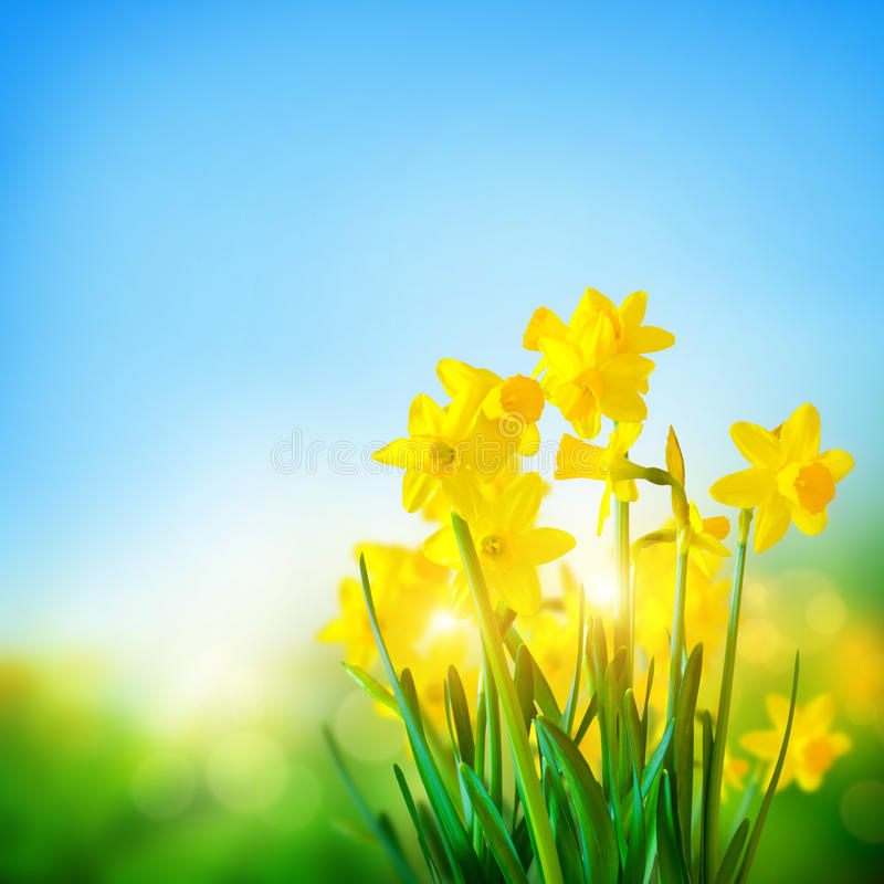 Gele narcissenbloemen in de Lente stock fotografie