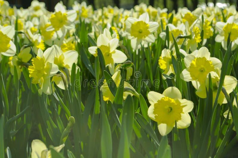 Gele narcissenbloemen op een gebied royalty-vrije stock foto