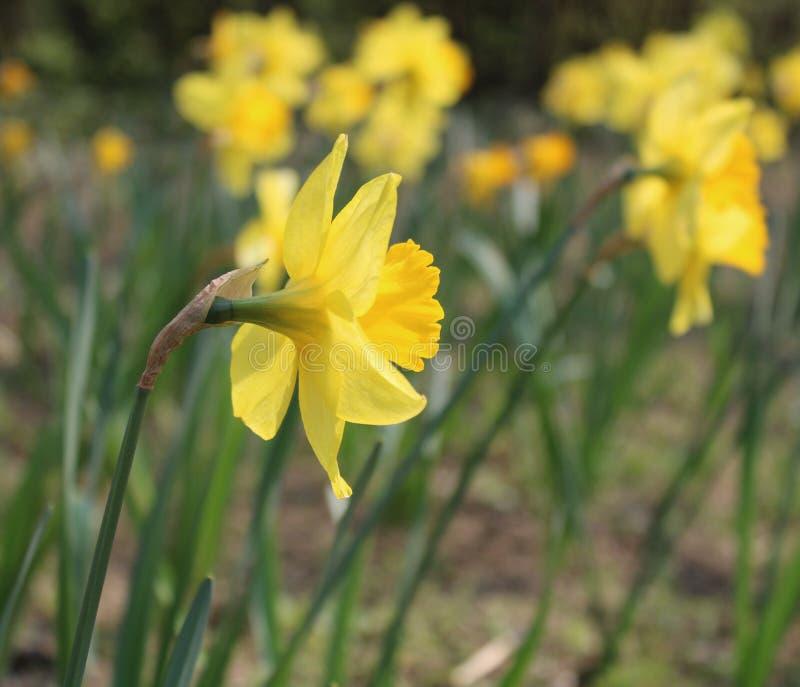 Gele narcissuses in een tuin stock afbeelding