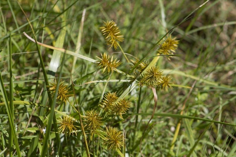 Gele Nutsedge Nutgrass - esculentus Cyperus stock afbeeldingen