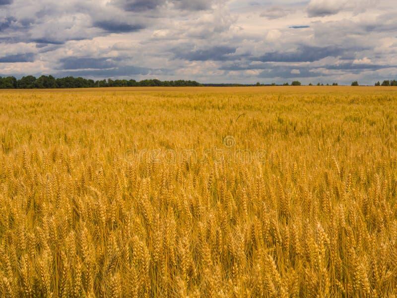 Gele oogstkorrel onder stormachtige hemel Gebied van Gouden Tarwe royalty-vrije stock foto