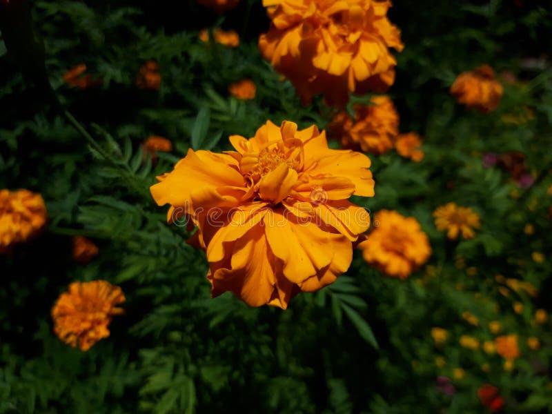 Gele of oranje bloem? stock afbeelding
