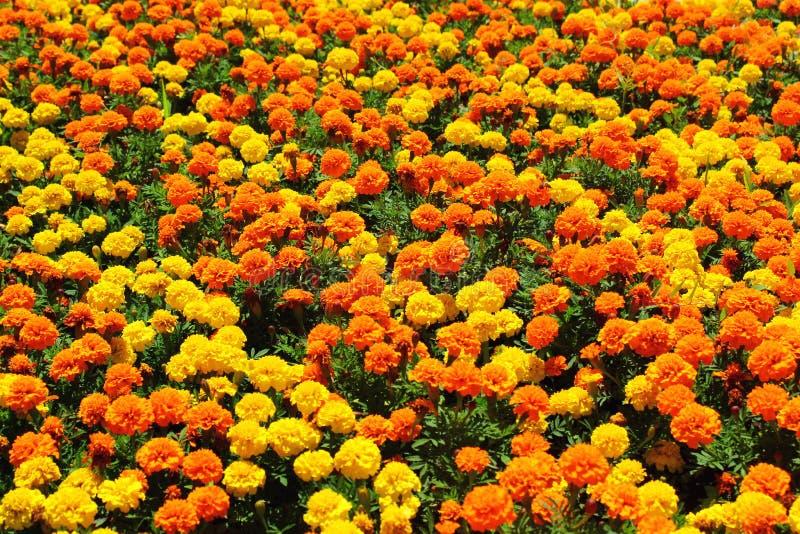 Gele, oranje en gouden goudsbloembloemen op bloembed in de zomer royalty-vrije stock foto's