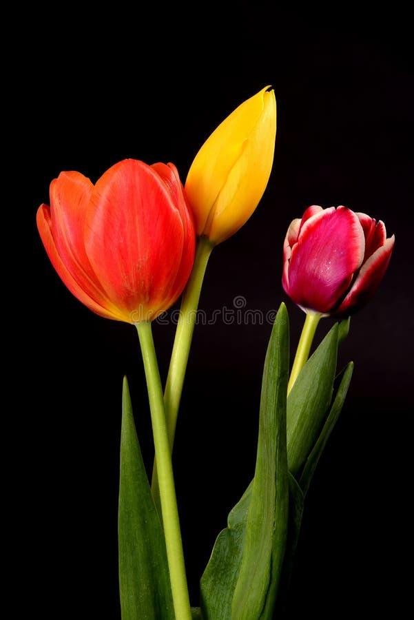 Gele, Oranje, en Karmozijnrode Tulpen stock afbeeldingen