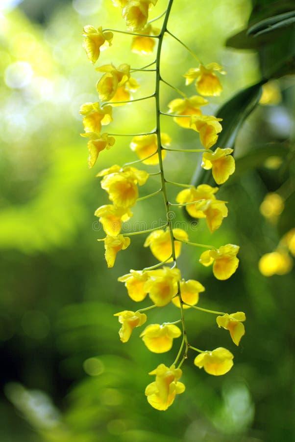 Gele orchideeën op groene achtergrond royalty-vrije stock afbeeldingen