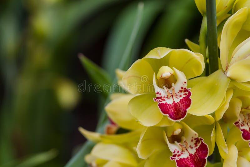 Gele orchideeënbloei als achtergrond stock fotografie