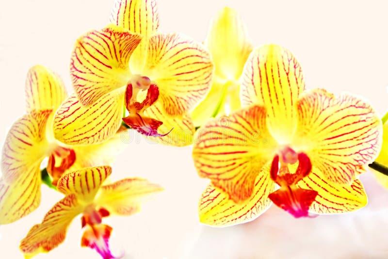 Gele orchideeënphalaenopsis royalty-vrije stock fotografie