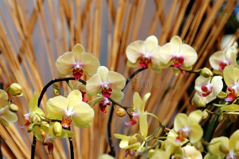 Gele orchidee stock afbeeldingen