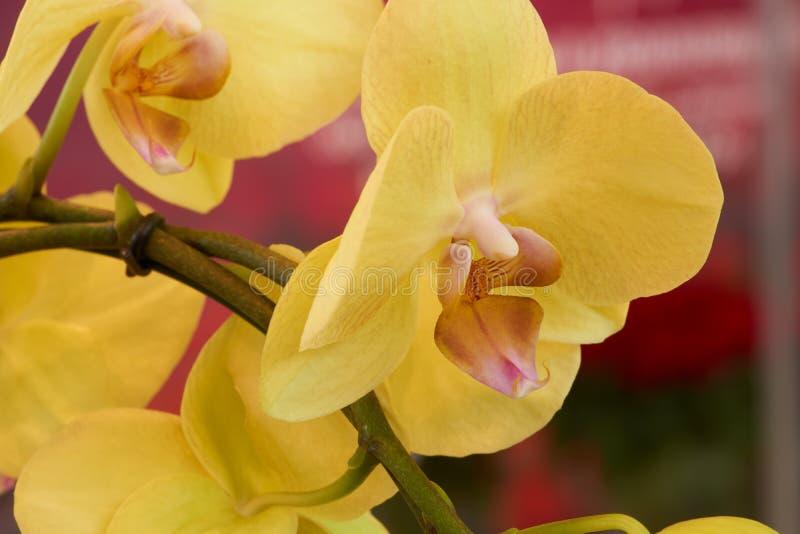 Gele Orchidee royalty-vrije stock afbeelding