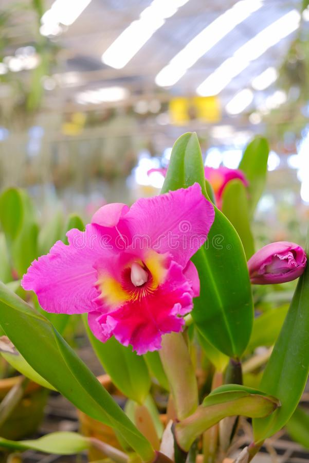 Gele Orchidee Cattleya royalty-vrije stock foto